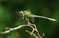 tła czarny Cecilia dragonfly zieleni ophiogomphus snaketail fotografia royalty free