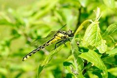 tła czarny Cecilia dragonfly zieleni ophiogomphus snaketail zdjęcia royalty free