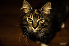 tła czarny kota zakończenia lasowy portret lasowy Obrazy Royalty Free
