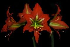 tła czarny lelui czerwień Obraz Royalty Free