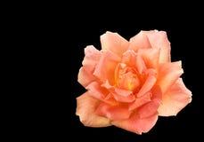 tła czerń kwiat odizolowywająca różana wiosna Zdjęcia Stock