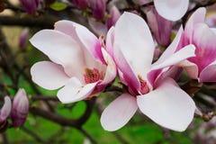 tła czerń kwiatu magnolia Obrazy Royalty Free