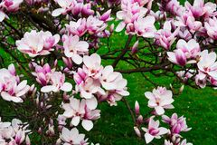 tła czerń kwiatu magnolia Fotografia Stock