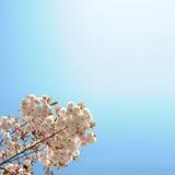 tła czereśniowy Fuji drzewo Obraz Stock