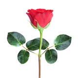 tła czerwieni róży biel Zdjęcie Royalty Free