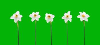 tła daffodils zieleń ilustracja wektor