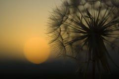 tła dandelion macro słońce Zdjęcie Stock