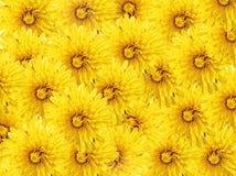 tła dandelions kolor żółty Obrazy Stock