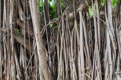 Tła drzewa korzeń Obraz Royalty Free