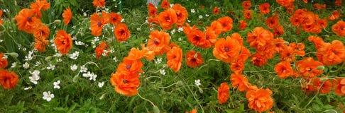 tła duży dekoracyjny kwiatu ogród odizolowywał makowego biel zdjęcie stock