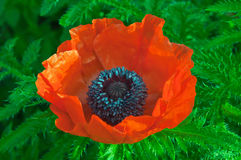 tła duży dekoracyjny kwiatu ogród odizolowywał makowego biel Obraz Stock