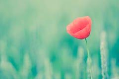 tła duży dekoracyjny kwiatu ogród odizolowywał makowego biel Fotografia Royalty Free