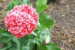 tła duży dekoracyjny kwiatu ogród odizolowywał makowego biel Zdjęcia Stock