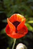 tła duży dekoracyjny kwiatu ogród odizolowywał makowego biel Fotografia Stock