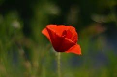 tła duży dekoracyjny kwiatu ogród odizolowywał makowego biel Obrazy Royalty Free