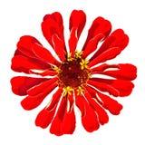 tła elegans odosobnione czerwone biały cynie Fotografia Stock