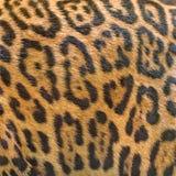 tła futerkowa lamparta tekstura Zdjęcia Royalty Free