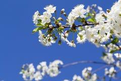 tła gałęziastego czereśniowego kwiecenia odosobniony biel Zdjęcie Royalty Free
