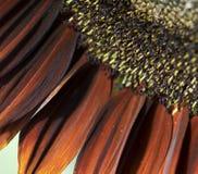 tła gigantycznego słonecznika tapeta Zdjęcie Stock