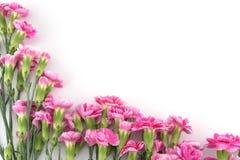 tła goździka kwiatów menchii biel Obraz Stock