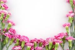 tła goździka kwiatów menchii biel Zdjęcie Stock
