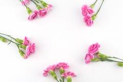 tła goździka kwiatów menchii biel Fotografia Royalty Free