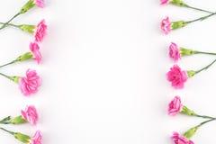 tła goździka kwiatów menchii biel Obraz Royalty Free