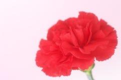 tła goździka menchii czerwień Obrazy Royalty Free
