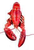 tła homara biel obrazy royalty free