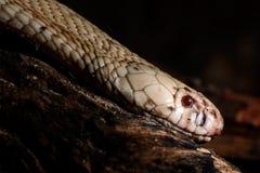 tła ilustracyjny jadowity węża biel zdjęcia stock