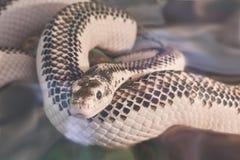 tła ilustracyjny jadowity węża biel zdjęcie royalty free