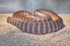 tła ilustracyjny jadowity węża biel zdjęcie stock