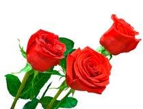 tła jaskrawy czerwony róż trzy biel Obrazy Stock
