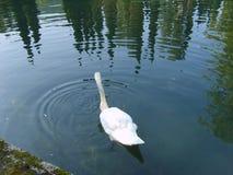tła jezioro żegluje łabędziego biel Fotografia Stock