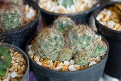tła kaktus odizolowywający garnka biel Fotografia Royalty Free
