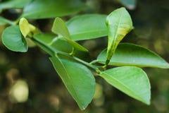 tła karmowi składniki odizolowywający kaffir liść wapnią tajlandzkiego biel Zdjęcie Stock