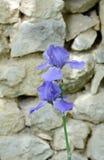 tła karty kwiatu powitania irysa strony szablonu cechy ogólnej sieć Fotografia Royalty Free