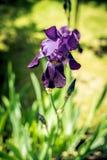 tła karty kwiatu powitania irysa strony szablonu cechy ogólnej sieć Obrazy Royalty Free