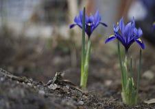tła karty kwiatu powitania irysa strony szablonu cechy ogólnej sieć zdjęcie stock