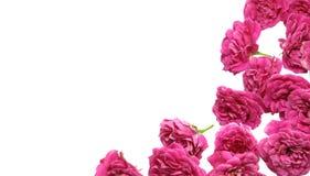 tła karty menchii różani valentines Obraz Royalty Free