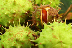 tła kasztanów zieleń Zdjęcia Royalty Free
