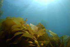 tła kelp zdjęcie stock