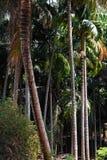 tła kokosowego projekta ilustracyjne palmy biały Obrazy Royalty Free