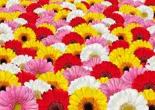 tła kolorowi kwiatów gerbera udziały zdjęcia royalty free