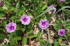 tła koloru kwiatu chwały ranek naturalny fiołek Zdjęcia Royalty Free