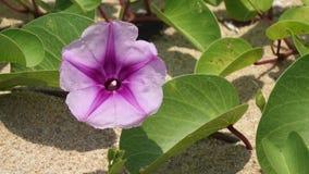 tła koloru kwiatu chwały ranek naturalny fiołek zbiory