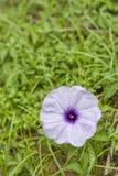 tła koloru kwiatu chwały ranek naturalny fiołek Fotografia Royalty Free
