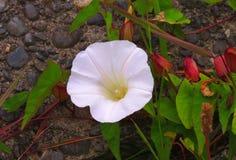 tła koloru kwiatu chwały ranek naturalny fiołek Fotografia Stock