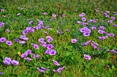 tła koloru kwiatu chwały ranek naturalny fiołek Obrazy Stock