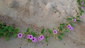 tła koloru kwiatu chwały ranek naturalny fiołek Zdjęcie Stock